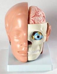 Фото Модель Голова человека с мозгом (XC-318B)
